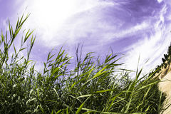 Tall grass. In the sunlight Royalty Free Stock Photo