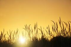The tall grass  at sunset Stock Photos