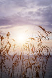 Tall grass at sunset Stock Photography
