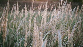 Tall grass sways in the wind, tranquil landscape, slow motion stock video