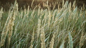 Tall grass sways in the wind, tranquil landscape stock video footage