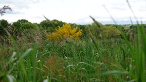 Tall grass sways in the wind, tranquil landscape stock video