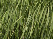Tall Grass - Texture. Texture background of tall grass from lakeshore Royalty Free Stock Photography