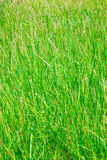 Tall Grass. Texture nature background stock photography