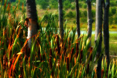 Tall grass and trees. Tall grasses cover the bases of thin trees surrounding a small pond Stock Photography