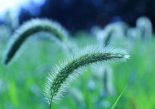 Tall grass in twilight. Royalty Free Stock Photos