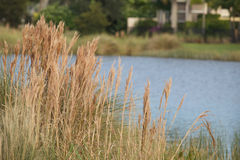 Tall grass with water Royalty Free Stock Photos
