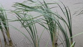 Tall grass in the water in the river stock video
