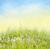 Tall grass with white dandelions Stock Images