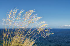 Tall grass with wind and sea Royalty Free Stock Photo