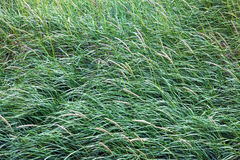 Tall grass on a windy day Royalty Free Stock Images