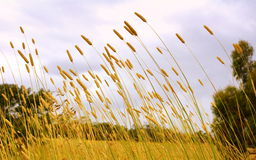Tall grass in winter field Stock Photos