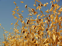 Tall grass (yellow). Tall wild grass that riped, grains released. Blue sky background Royalty Free Stock Images
