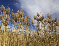 Tall Grasses. Tall feathery grasses in the autumn stock photo