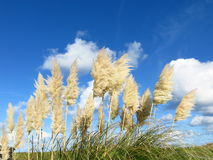 Tall grasses. A symbol of natural purity in the Channel islands Stock Image