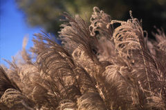 Beautiful, Tall Grasses Royalty Free Stock Images