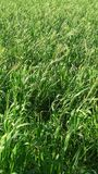 Tall grasses blow in breeze. Close up of tall broad green grasses in a field blowing in the light breeze Royalty Free Stock Photo