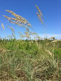 Tall grasses Royalty Free Stock Photo