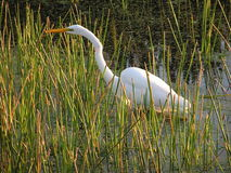 In tall Grasses :Great Egret. A Great Egret is standing in the tall grasses of a marsh Stock Photography