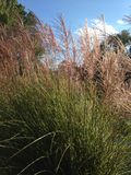 Tall grasses Royalty Free Stock Image