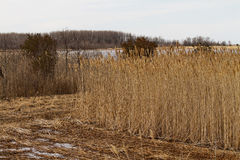 Tall grasses in the Wetlands Stock Image