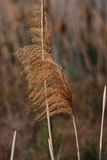 Tall grassy reeds growing in Spain. Tall grassy reeds growing along a lakeside in a bird reserve in Spain Royalty Free Stock Photos