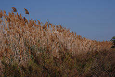 Tall grassy reeds growing in Spain. Tall grassy reeds growing along a lakeside in a bird reserve in Spain Stock Image