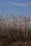 Tall grassy reeds growing in Spain. Tall grassy reeds growing along a lakeside in a bird reserve in Spain stock photography