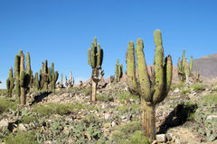 Tall green cactus in the desert of South America Stock Photo