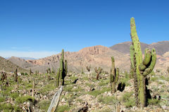 Tall green cactus in the desert of South America royalty free stock photo