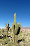 Tall green cactus in South America Royalty Free Stock Images
