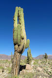 Tall green cactus in South America Stock Photo