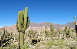 Tall green cactus valley in South America stock photo