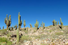 Tall green cactus valley in South America Stock Images