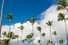 Tall green coconut palm trees standing in bright blue tropical sky. Background Royalty Free Stock Photography