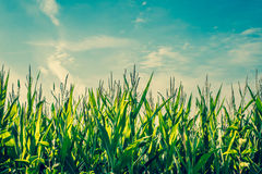 Tall green corn crops Royalty Free Stock Image