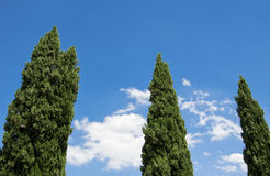 Tall green Cypress trees converge towards a clear blue sky. Stock Photo