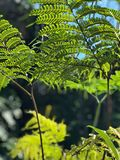 Tall fern leaves Royalty Free Stock Image