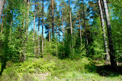 Tall green forest trees. On a Summer day Stock Image