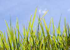 Tall Green Grass Royalty Free Stock Image