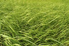 Tall green grass Stock Photography