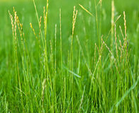Tall green grass close up background Royalty Free Stock Photo