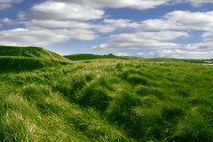 Tall green grass on the dunes of Ballybunion golf course. In county Kerry, Ireland Royalty Free Stock Photography