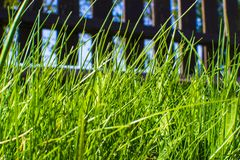 Tall green grass in garden. Tall grass in the unkempt lawn of a private modern home royalty free stock images