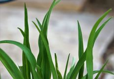 Tall green grass like plant. A Photograph of tall green grass like plant growing out of a pot showing life of spring time Royalty Free Stock Images