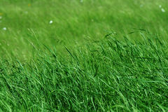 Tall green grass in pasture. Blowing in wind, shallow depth of field royalty free stock images