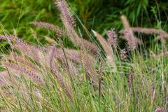 Tall green grass with seed pods. Closeup of ornamental green grass with seed pods blowing in a breeze royalty free stock images