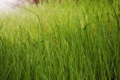 Tall green grass royalty free stock photos