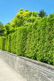 Tall green hedge on concrete terrace with blue sky background. Trees behind a tall green hedge on concrete terrace with blue sky background Royalty Free Stock Image