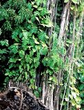 Tall, Green, Leafy Trees, Plants, and Lava Rocks in the Jungle. Big Island, Hilo, Hawaii royalty free stock photos